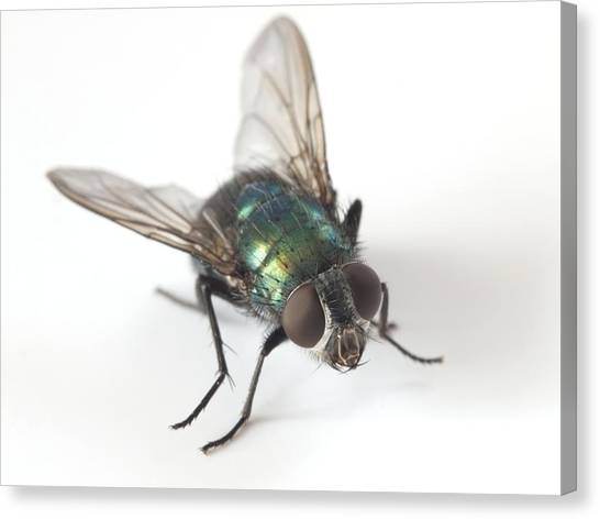 Greenbottle Fly Canvas Print by Dr Jeremy Burgess