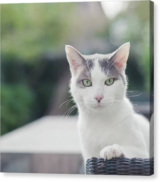 Cat Canvas Print - Grey And White Cat by Cindy Prins