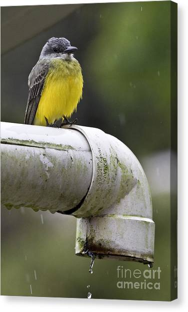 Flycatchers Canvas Print - Grey-capped Flycatcher by Heiko Koehrer-Wagner