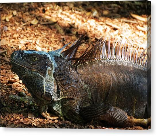 Carribbean Canvas Print - Grey Iguana by Vijay Sharon Govender