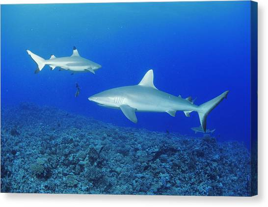Black Tip Sharks Canvas Print - Grey Reef Shark And Black-tip Reef Shark by Alexis Rosenfeld