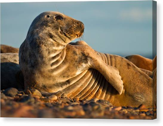 Grey Seal Halichoerus Grypus Watching Canvas Print