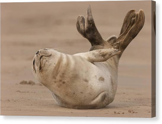 Grey Seal Pup Canvas Print
