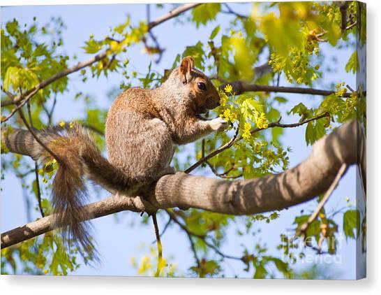 Grey Squirrel Feedingtime Canvas Print