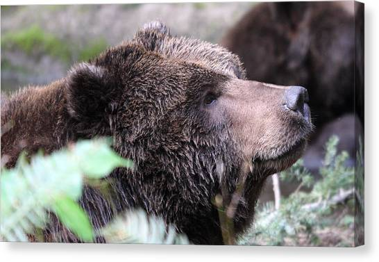 Grizzley - 0010 Canvas Print by S and S Photo