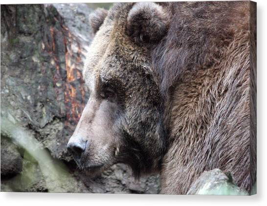 Grizzley - 0013 Canvas Print by S and S Photo