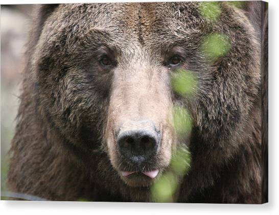 Grizzley - 0020 Canvas Print by S and S Photo