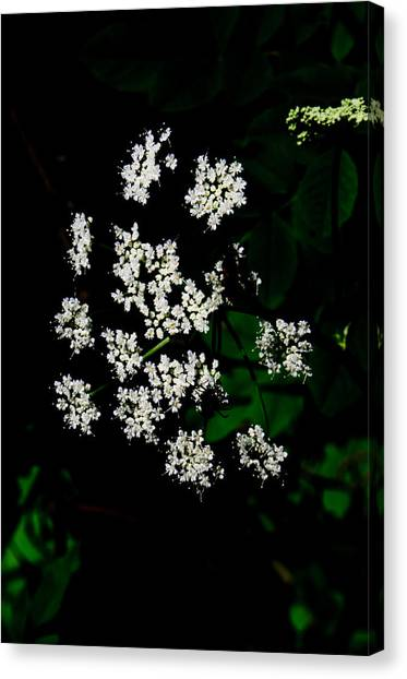 Ground-elder Canvas Print