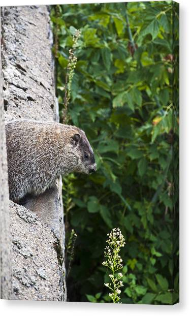 Groundhogs Canvas Print - Groundhog Day by Bill Cannon