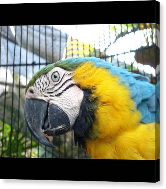 Macaws Canvas Print - #guacamayo #loro #parrot #bird #macaw by Raul Robles