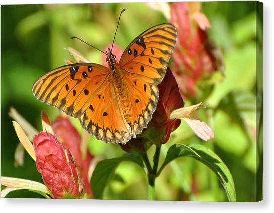 Gulf Fritillary Butterfly On Flower Canvas Print
