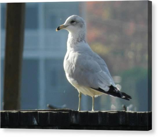 Gull Smiling Canvas Print by Dennis Leatherman