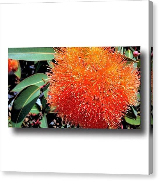 Apple Tree Canvas Print - Gum Flower #nature #native #iphone by Gary David