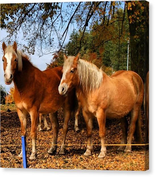 Horses Canvas Print - Haflinger by Luisa Azzolini