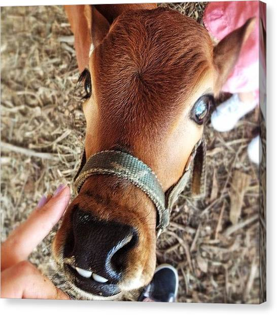 Teeth Canvas Print - Haha It's #teeth Crack Me Up!!! #calf by Kayla Hart
