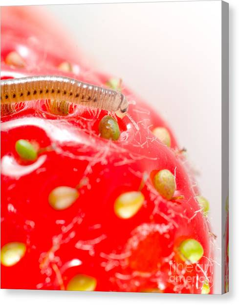 Millipedes Canvas Print - Hairy Strawberry Millipede Cylindroiulus Punctatus Feeding On A Strawberry by Andy Smy