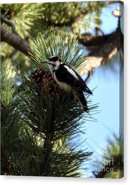 Hairy Woodpecker On Pine Cone Canvas Print