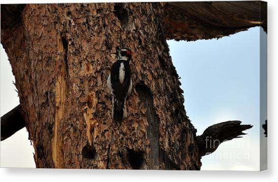 Hairy Woodpecker On Pine Tree Canvas Print