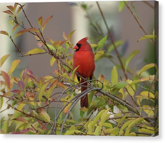 Handsome Cardinal Canvas Print