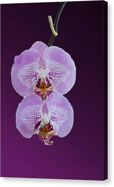Hanging Orchids Canvas Print