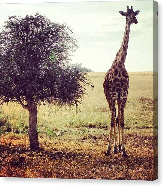 Giraffes Canvas Print - Hanging W/ @sarahjmg And #melman In The by Crystal Peterson