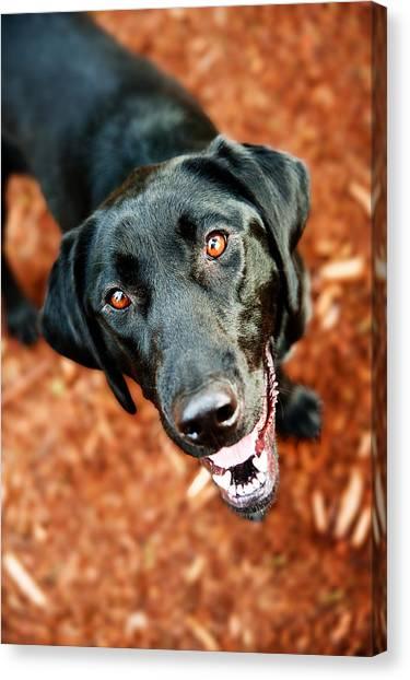 Happy Black Labrador Dog Outside Canvas Print by Anna Hoychuk