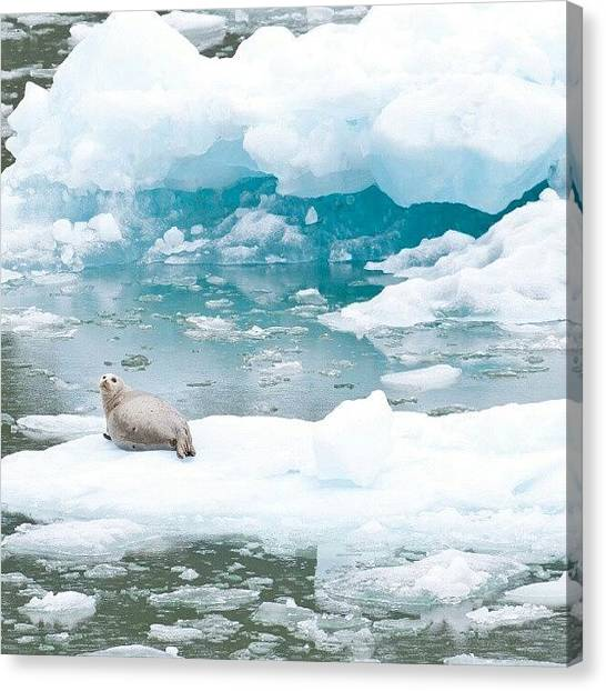 Glaciers Canvas Print - Harbor Seal In Tracy Arm Alaska by Carlos Caceres