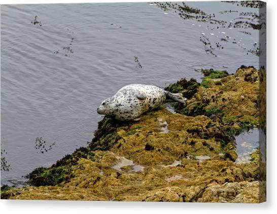 Harbor Seal Taking A Nap Canvas Print