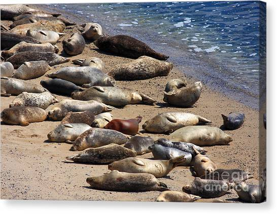 Harbor Seals Sunbathing On The Beach . 40d7553 Canvas Print by Wingsdomain Art and Photography
