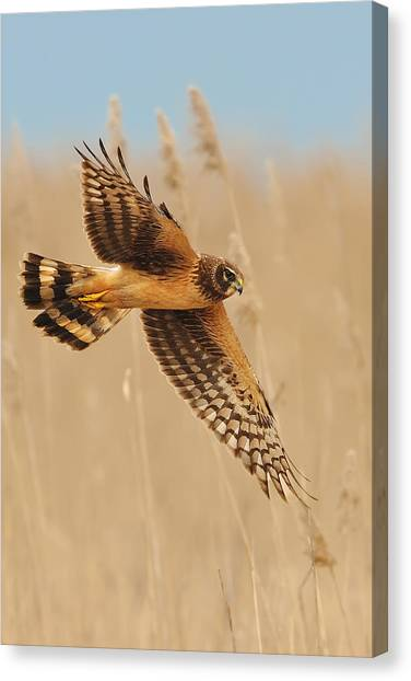 Harrier Over Golden Grass Canvas Print