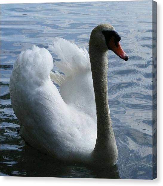 Swans Canvas Print - Hattyú by Tibor Kiraly