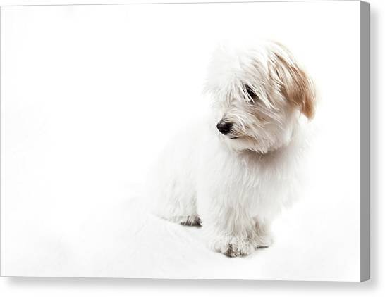Havanese Puppy Canvas Print by Daniel Pupius