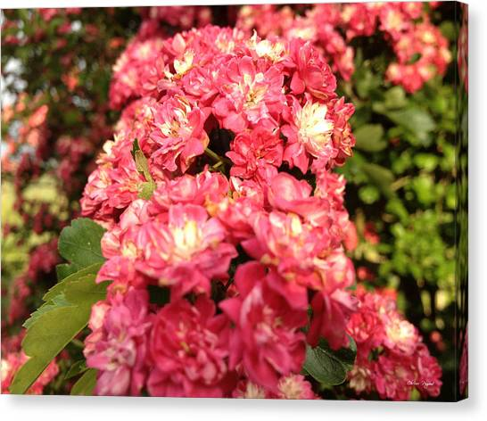 Hawthorn Flowers Canvas Print