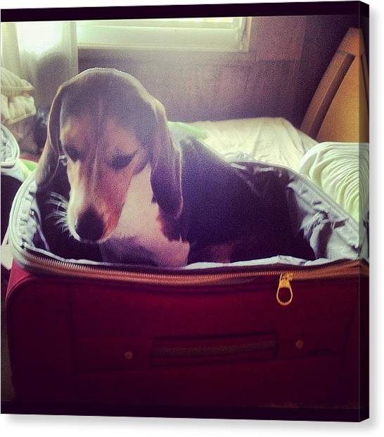 Beagles Canvas Print - He Wants To Go On #vacation With Us… by Ivan Belvis