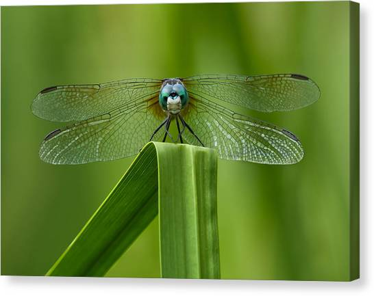 Head On Dragonfly Canvas Print