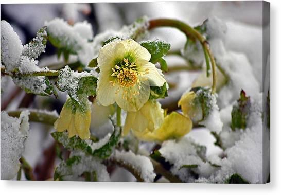 Hellebore Flowers Blooming In Snow Canvas Print