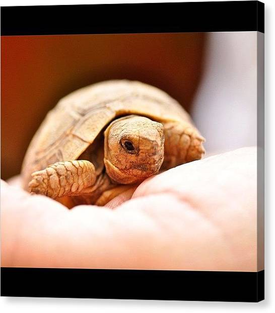 Tortoises Canvas Print - Hello Little Fella! #webstagram by Tanya Sperling
