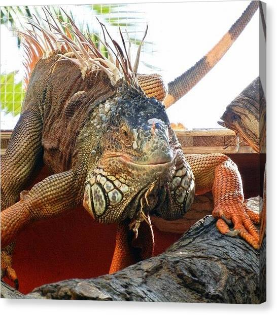 Iguanas Canvas Print - Hello Mr Iguana! #webstagram by Tanya Sperling