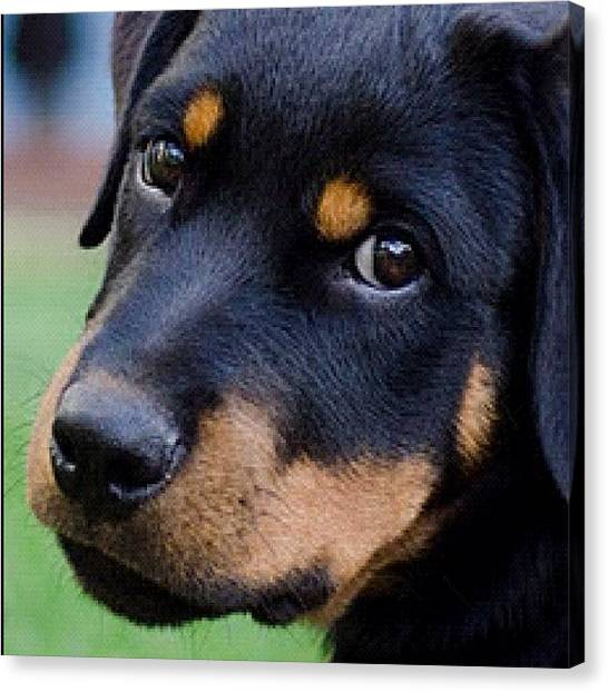 Rottweilers Canvas Print - Hello!! My Name Is Hera!! #pets #pet by Adriana Guimaraes