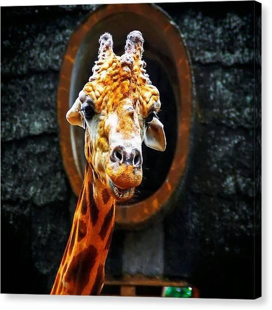 Giraffes Canvas Print - Hello by Rahman Galela