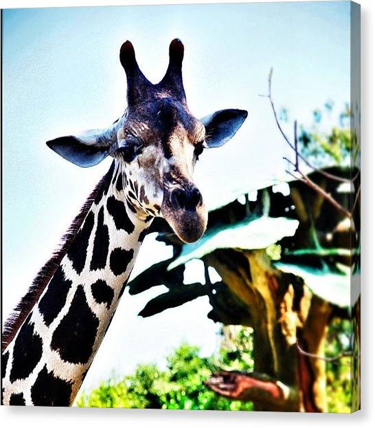 Giraffes Canvas Print - Hello There ^_^ by Martin Lee