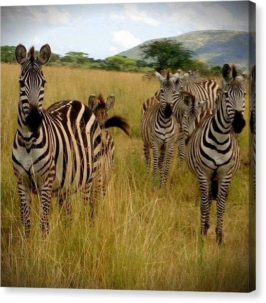Wilderness Canvas Print - Hello There #zebras, Where You by Crystal Peterson