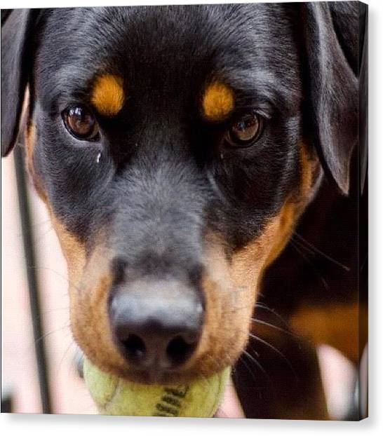 Rottweilers Canvas Print - Hera And Her Ball!! #hera #ball #dog by Adriana Guimaraes