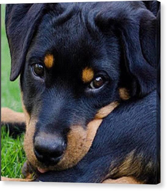 Rottweilers Canvas Print - Hera, My #cute #dog #petstagram by Adriana Guimaraes