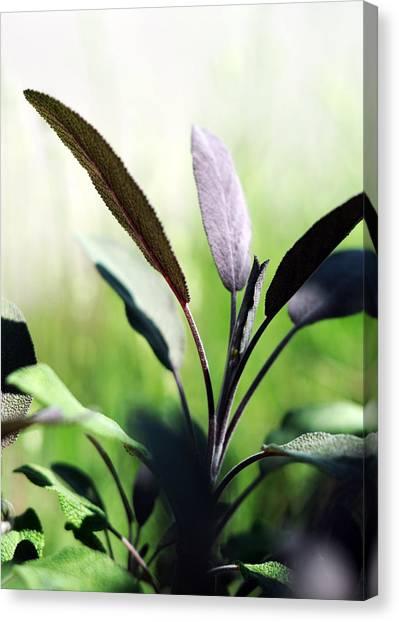 Herb Garden Purple Sage Canvas Print