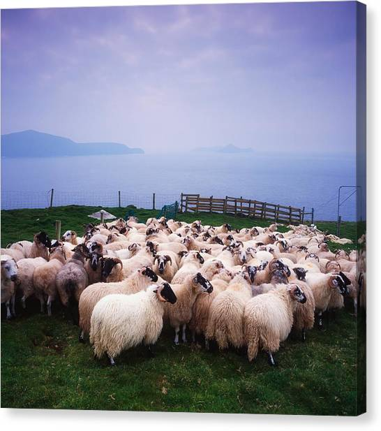 St. Patricks Day Canvas Print - Herding Sheep, Inishtooskert, Blasket by The Irish Image Collection