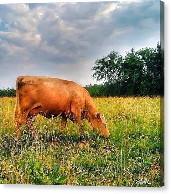 Kansas Canvas Print - Here Come The Cows! 🐮finally!! 🐮 by Sue Hall