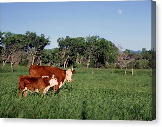 Hereford Cow And Calf Canvas Print