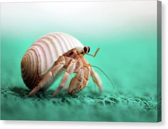 Crab Canvas Print - Hermit Crab Running by With love of photography