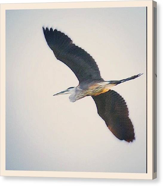 Herons Canvas Print - Heron ~ While At The by Chris T Darling
